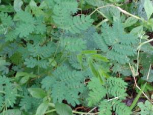 ( - DNAFR000234)  @11 [ ] Copyright (2014) Gujarat Biodiversity Gene Bank, GSBTM, DST, GoG Gujarat Biodiversity Gene Bank, GSBTM, DST, GoG