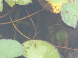 (Hydrilla - DNAFR000236)  @11 [ ] Copyright (2014) Gujarat Biodiversity Gene Bank, GSBTM, DST, GoG Gujarat Biodiversity Gene Bank, GSBTM, DST, GoG