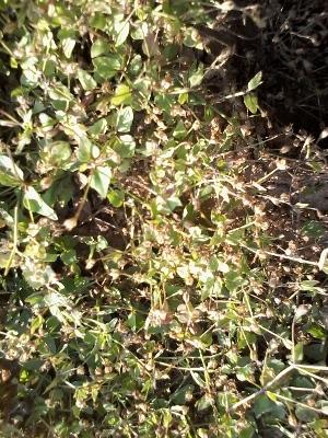 (Evolvulus alsinoides - DNAFR000568)  @11 [ ] Copyright (2014) Gujarat Biodiversity Gene Bank, GSBTM, DST, GoG Gujarat Biodiversity Gene Bank, GSBTM, DST, GoG