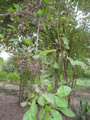 (Lawsonia - DNAFR000638)  @11 [ ] Copyright (2014) Gujarat Biodiversity Gene Bank, GSBTM, DST, GoG Gujarat Biodiversity Gene Bank, GSBTM, DST, GoG