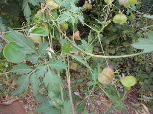 ( - DNAFR000639)  @11 [ ] Copyright (2014) Gujarat Biodiversity Gene Bank, GSBTM, DST, GoG Gujarat Biodiversity Gene Bank, GSBTM, DST, GoG