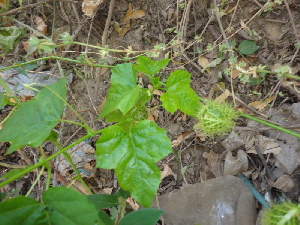 (Passiflora foetida - DNAFR000646)  @11 [ ] Copyright (2014) Gujarat Biodiversity Gene Bank, GSBTM, DST, GoG Gujarat Biodiversity Gene Bank, GSBTM, DST, GoG