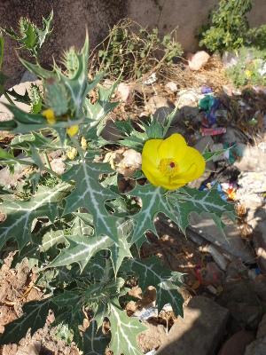 (Argemone - DNAFR000652)  @11 [ ] Copyright (2014) Gujarat Biodiversity Gene Bank, GSBTM, DST, GoG Gujarat Biodiversity Gene Bank, GSBTM, DST, GoG