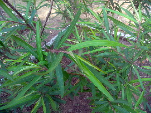 (Acalyphoideae - DNAFR000331)  @11 [ ] Copyright (2014) Gujarat Biodiversity Gene Bank, GSBTM, DST, GoG Gujarat Biodiversity Gene Bank, GSBTM, DST, GoG