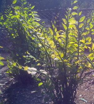 (Euphorbia tithymaloides - DNAFR000338)  @11 [ ] Copyright (2014) Gujarat Biodiversity Gene Bank, GSBTM, DST, GoG Gujarat Biodiversity Gene Bank, GSBTM, DST, GoG