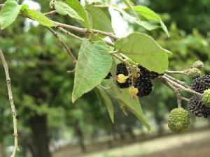 (Guazuma ulmifolia - DNAFR000530)  @11 [ ] Copyright (2014) Gujarat Biodiversity Gene Bank, GSBTM, DST, GoG Gujarat Biodiversity Gene Bank, GSBTM, DST, GoG
