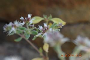 (Cometes - DNAFR000561)  @11 [ ] Copyright (2014) Gujarat Biodiversity Gene Bank, GSBTM, DST, GoG Gujarat Biodiversity Gene Bank, GSBTM, DST, GoG