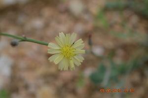 (Launaea - DNAFR000413)  @11 [ ] Copyright (2014) Gujarat Biodiversity Gene Bank, GSBTM, DST, GoG Gujarat Biodiversity Gene Bank, GSBTM, DST, GoG