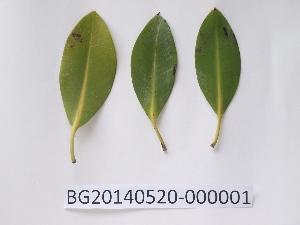 (Rhizophora mucronata - DNAFR000720)  @11 [ ] Copyright (2014) Gujarat Biodiversity Gene Bank, GSBTM, DST, GoG Gujarat Biodiversity Gene Bank, GSBTM, DST, GoG