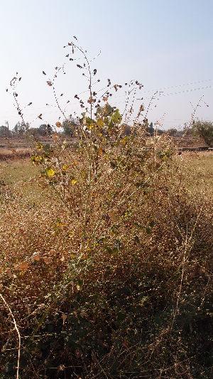 (Cullen - DNAFR001679)  @11 [ ] Copyright (2016) Gujarat Biodiversity Gene Bank, GSBTM, DST, GoG Gujarat Biodiversity Gene Bank