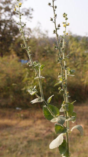 (Verbascum - DNAFR001686)  @11 [ ] Copyright (2016) Gujarat Biodiversity Gene Bank, GSBTM, DST, GoG Gujarat Biodiversity Gene Bank