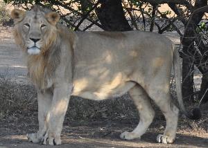 (Panthera leo persica - BIOMTWL-BLE-017)  @14 [ ] Copyright (2013) Gujarat Biodiversity Gene Bank, GSBTM, GoG, India. Gujarat Biodiversity Gene Bank, GSBTM, GoG, India.