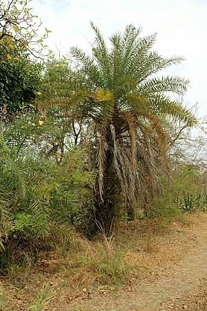 (Phoenix sylvestris - DNAFR000014)  @11 [ ] Copyright (2011) Gujarat Biodiversity Gene Bank Gujarat Biodiversity Gene Bank,Gujarat State Biotechnology Mission