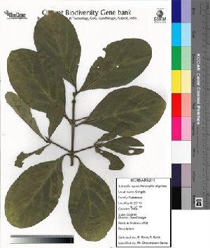 (Ixoroideae - DNAFR000026)  @11 [ ] Copyright (2011) Gujarat Biodiversity Gene Bank Gujarat Biodiversity Gene Bank