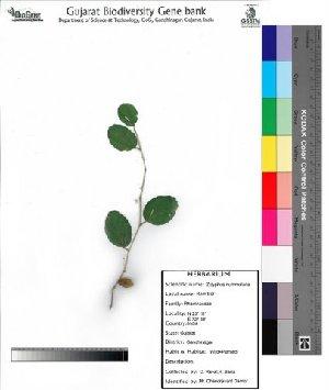 (Zizyphus - DNAFR000047)  @11 [ ] Copyright (2011) Gujarat Biodiversity Gene Bank Gujarat Biodiversity Gene Bank