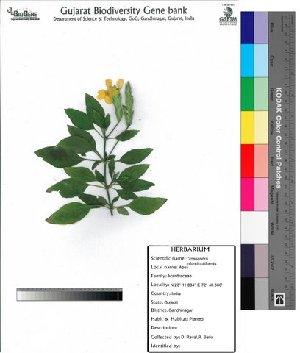(Crossandra - DNAFR000024)  @14 [ ] Copyright (2011) Gujarat Biodiversity Gene Bank Gujarat Biodiversity Gene Bank