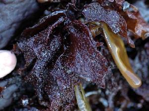 (Mastocarpus alaskensis - GWS004989)  @14 [ ] CreativeCommons - Attribution Non-Commercial Share-Alike (2010) Gary W. Saunders University of New Brunswick