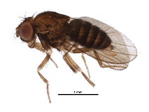 (Drosophila sturtevanti - BIOUG28039-B03)  @15 [ ] CreativeCommons - Attribution Non-Commercial Share-Alike (2016) CBG Photography Group Centre for Biodiversity Genomics