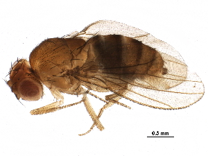 (Drosophila willistoni - BIOUG22529-B05)  @14 [ ] CreativeCommons - Attribution Non-Commercial Share-Alike (2016) CBG Photography Group Centre for Biodiversity Genomics