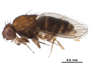 (Drosophila emarginata - BIOUG23582-D07)  @14 [ ] CreativeCommons - Attribution Non-Commercial Share-Alike (2016) BIO Photography Group Biodiversity Institute of Ontario
