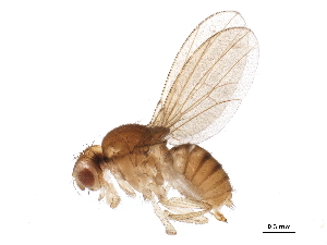 (Hirtodrosophila - BIOUG22472-F11)  @15 [ ] CreativeCommons - Attribution Non-Commercial Share-Alike (2015) BIO Photography Group Biodiversity Institute of Ontario