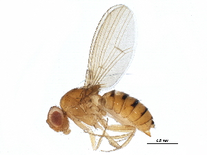 (Drosophila polymorpha - BIOUG24736-E05)  @11 [ ] CreativeCommons - Attribution Non-Commercial Share-Alike (2015) BIO Photography Group Biodiversity Institute of Ontario