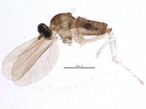 (Cecidomyiidae - BIOUG12774-C12)  @14 [ ] CreativeCommons - Attribution Non-Commercial Share-Alike (2014) BIO Photography Group Biodiversity Institute of Ontario
