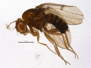(Drosophila maculifrons - BIOUG12806-D07)  @13 [ ] CreativeCommons - Attribution Non-Commercial Share-Alike (2014) BIO Photography Group Biodiversity Institute of Ontario