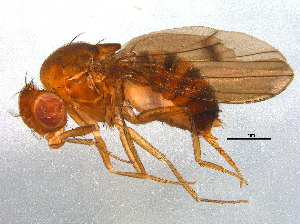 (Drosophila neoguaramunu - BIOUG12930-B01)  @11 [ ] CreativeCommons - Attribution Non-Commercial Share-Alike (2014) BIO Photography Group Biodiversity Institute of Ontario