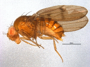 (Drosophila nappae - BIOUG12930-B04)  @13 [ ] CreativeCommons - Attribution Non-Commercial Share-Alike (2014) CBG Photography Group Centre for Biodiversity Genomics