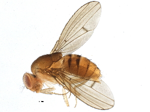 (Drosophila mediopunctata - BIOUG13193-G07)  @15 [ ] CreativeCommons - Attribution Non-Commercial Share-Alike (2014) BIO Photography Group Biodiversity Institute of Ontario