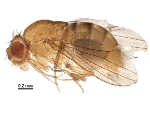 (Drosophila albomicans - BIOUG23358-B03)  @11 [ ] CreativeCommons - Attribution Non-Commercial Share-Alike (2016) CBG Photography Group Centre for Biodiversity Genomics