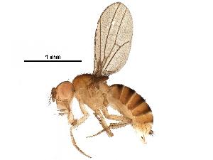 (Drosophila paulistorum - BIOUG31319-G10)  @11 [ ] CreativeCommons - Attribution Non-Commercial Share-Alike (2017) CBG Photography Group Centre for Biodiversity Genomics