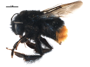 (Bombus ignitus - BIOUG14399-C01)  @15 [ ] CreativeCommons - Attribution Non-Commercial Share-Alike (2015) CBG Photography Group Centre for Biodiversity Genomics