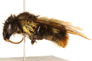 (Bombus trifasciatus - BIOUG14542-F08)  @14 [ ] CreativeCommons - Attribution Non-Commercial Share-Alike (2015) CBG Photography Group Centre for Biodiversity Genomics