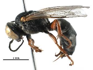 (Tachysphex erythrophorus - BIOUG14834-C07)  @14 [ ] CreativeCommons - Attribution Non-Commercial Share-Alike (2016) BIO Photography Group Biodiversity Institute of Ontario