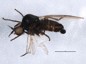 (Microphoridae - BIOUG04119-B03)  @13 [ ] CreativeCommons - Attribution Non-Commercial Share-Alike (2013) BIO Photography Group Biodiversity Institute of Ontario