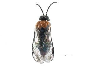 (Tenthredinidae - BIOUG15869-H10)  @15 [ ] CreativeCommons - Attribution Non-Commercial Share-Alike (2015) BIO Photography Group Biodiversity Institute of Ontario