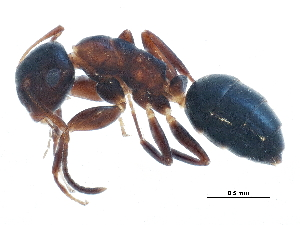 (Camponotus mississippiensis - BIOUG16416-H09)  @13 [ ] CreativeCommons - Attribution Non-Commercial Share-Alike (2015) BIO Photography Group Biodiversity Institute of Ontario