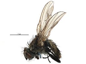 (Anthomyiinae - BIOUG07835-C07)  @15 [ ] CreativeCommons - Attribution Non-Commercial Share-Alike (2015) BIO Photography Group Biodiversity Institute of Ontario
