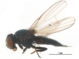 (Lonchaeidae - BIOUG16785-H04)  @13 [ ] CreativeCommons - Attribution Non-Commercial Share-Alike (2015) BIO Photography Group Biodiversity Institute of Ontario