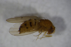 (Drosophila unispina - BIOUG08096-E11)  @12 [ ] CreativeCommons - Attribution Non-Commercial Share-Alike (2015) SNSB, Zoologische Staatssammlung Muenchen SNSB, Zoologische Staatssammlung Muenchen