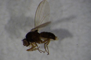 (Drosophila subobscura - BIOUG08218-G03)  @12 [ ] CreativeCommons - Attribution Non-Commercial Share-Alike (2015) SNSB, Zoologische Staatssammlung Muenchen SNSB, Zoologische Staatssammlung Muenchen