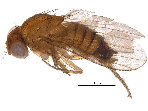 (Drosophila suzukii - BIOUG03046-F06)  @13 [ ] CreativeCommons - Attribution Non-Commercial Share-Alike (2015) BIO Photography Group Biodiversity Institute of Ontario
