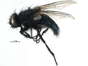 (Chrysomyinae - BIOUG15414-F12)  @14 [ ] CreativeCommons - Attribution Non-Commercial Share-Alike (2015) BIO Photography Group Biodiversity Institute of Ontario