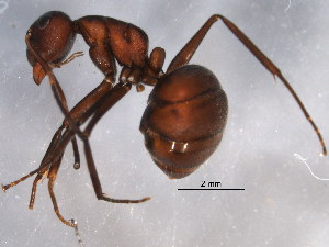 (Camponotus textor - BIOUG07721-H02)  @11 [ ] CreativeCommons - Attribution Non-Commercial Share-Alike (2015) BIO Photography Group Biodiversity Institute of Ontario
