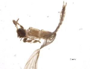 (Ptilocerembiidae - BIOUG19989-G10)  @12 [ ] CreativeCommons - Attribution Non-Commercial Share-Alike (2015) CBG Photography Group Centre for Biodiversity Genomics