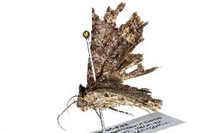 (Taveta - BIOUG26705-E02)  @13 [ ] CreativeCommons - Attribution Non-Commercial Share-Alike (2016) CBG Photography Group Centre for Biodiversity Genomics