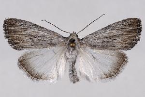 (Oncocnemidinae - 2011GM-0699)  @15 [ ] Copyright (2011) Gary McDonald Unspecified