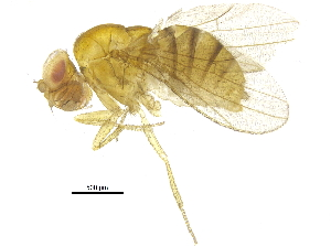 (Drosophila bipectinata - BIOUG14457-A10)  @11 [ ] CreativeCommons - Attribution Non-Commercial Share-Alike (2015) BIO Photography Group Biodiversity Institute of Ontario